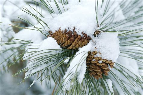 snow needle pine tree snow covers a bundle of pine needles photograph by rich