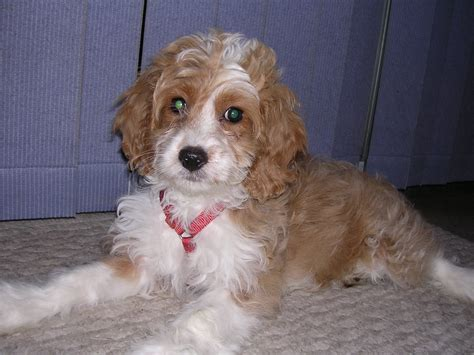 cockapoo puppy 12 week beagle puppies for
