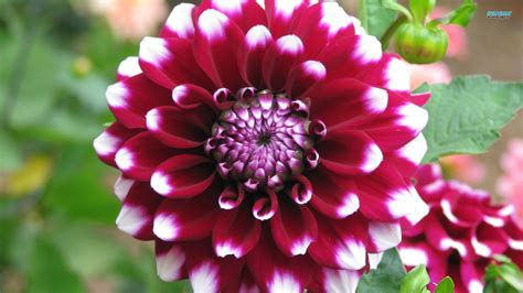flower homes dahlia flowers