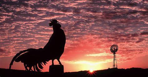 ayam  berkokok  pagi hari
