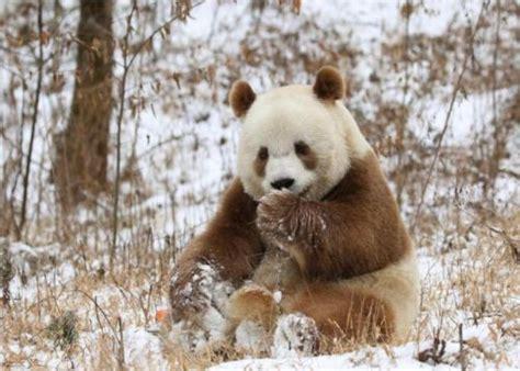 gambar panda lucu imut   menggemaskan
