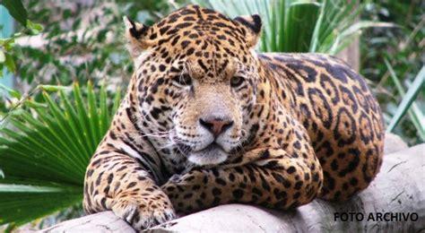 imagenes del jaguar animal jaguar en peligro de extinci 243 n por caza furtiva el