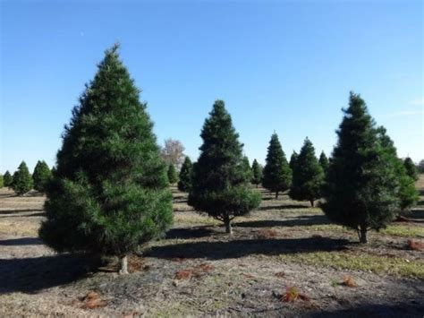 where to get a christmas tree near woburn woburn ma patch