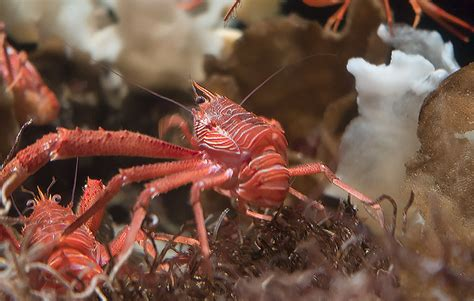 Southern California Crustaceans The Heiress Crab by Small Crabs Invade In Northern California