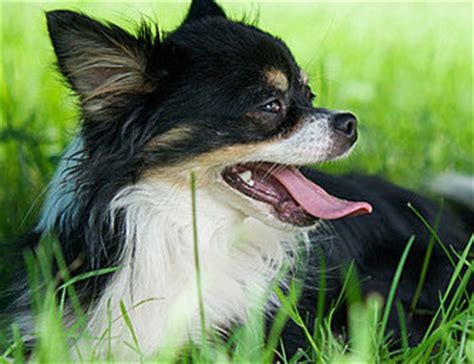 Do Chihuahuas Shed by Does Hair Chihuahua Shed Breeds Picture