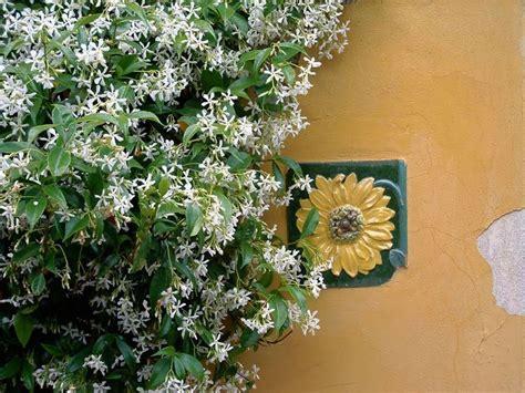 gelsomino coltivazione in vaso gelsomino ricante piante per giardino coltivare