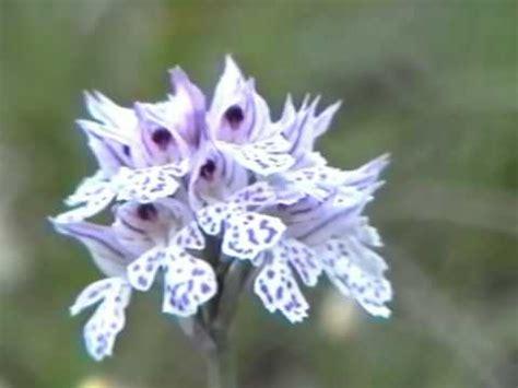 fiori di orchidee orchidee e fiori di monte carmo savona