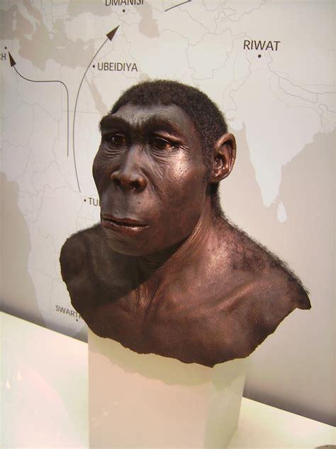 homo erectus file homo erectus jpg wikipedia