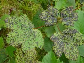 what are plant diseases file aceraceae plant diseases jpg