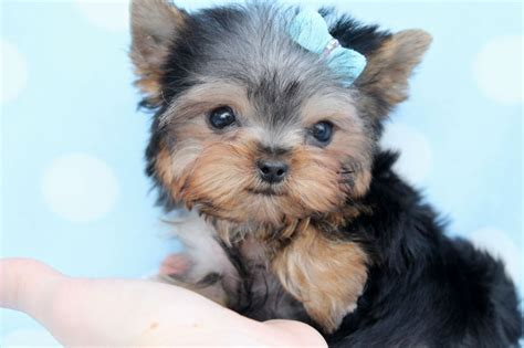 all about puppies la mirada yorky puppy puppies puppy