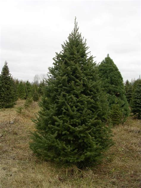 christmas tree descriptions