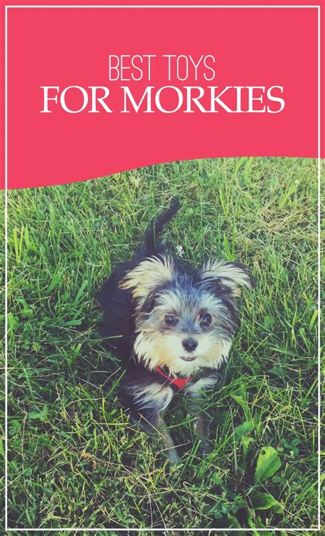 best toys for yorkies best 25 morkie puppies ideas on baby dogs teacup yorkie and teddy
