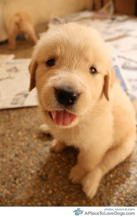 the cutest golden retriever in the world 45 best images about golden retrievers on puppys chs and so