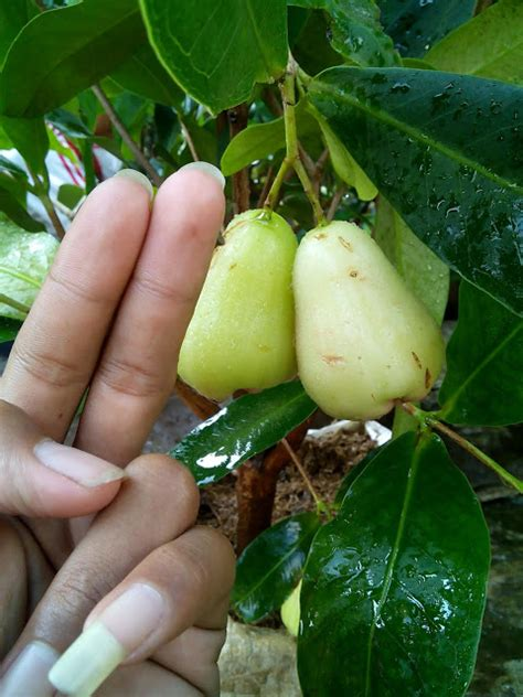 Bibit Jambu Air Lilin Merah jambu air cincalo hijau nursery fruit