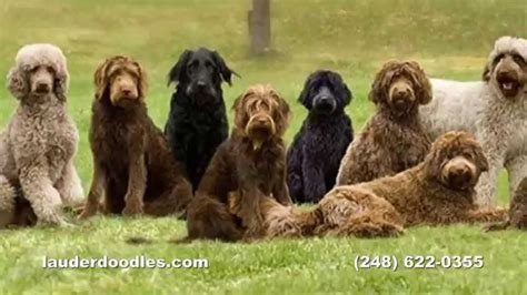 puppy ranch labradoodle breeder northwest ohio ranch