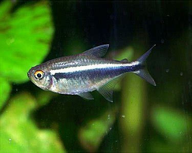Black Neon Tetra click on the image to rotate photos