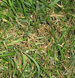 how to get rid of grass rust fungus tips on identification and treatment of lawn fungus