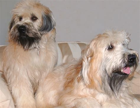 golden retriever puppies northern nsw wheaten terrier northern va dogs our friends photo