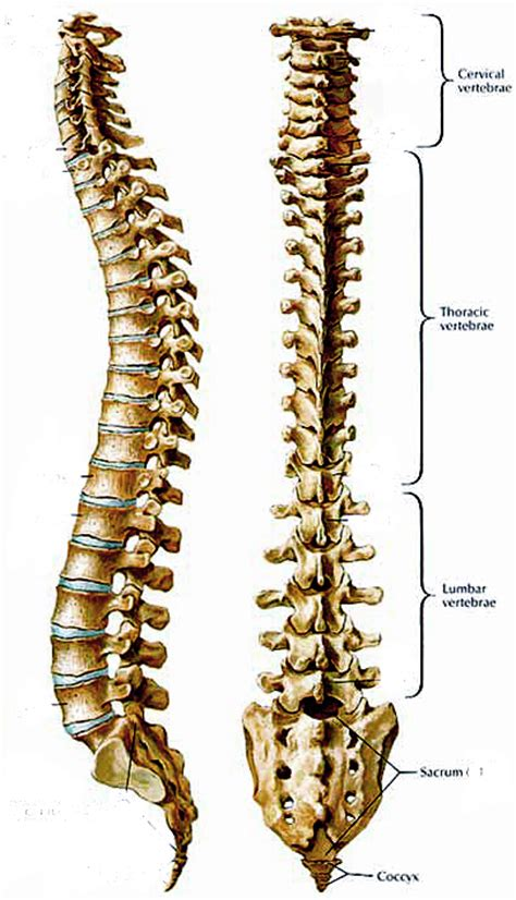diagram of human spine human spine diagram