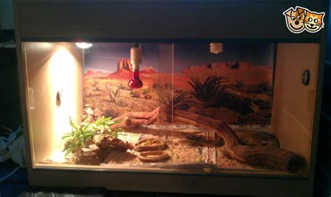what of heat l for bearded bearded dragons including set up solihull