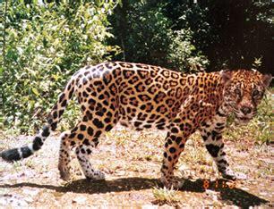 imagenes jaguarete fauna argentina mega post taringa