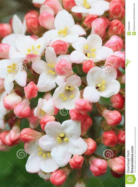 palla di neve fiore fiore fragrante della palla di neve fotografia stock