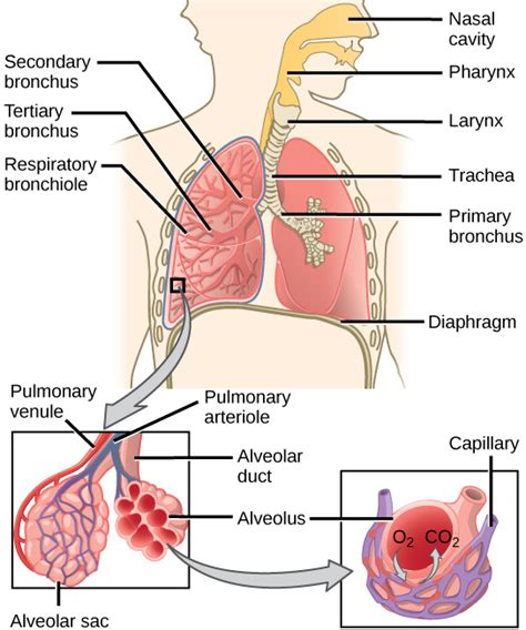 the correct order of a three compartment sink is what are the two that connect the lungs with the
