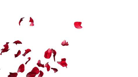 rose petals falling in slow motion royalty free video and