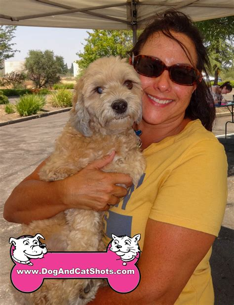 havanese northern california low cost and cat in northern california obi the havanese visited us in