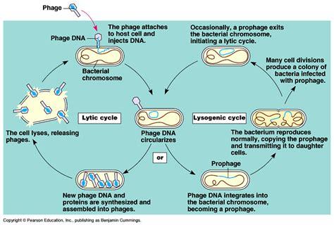 lytic cycle diagram hiv viruses ゚ bestsuruuu s