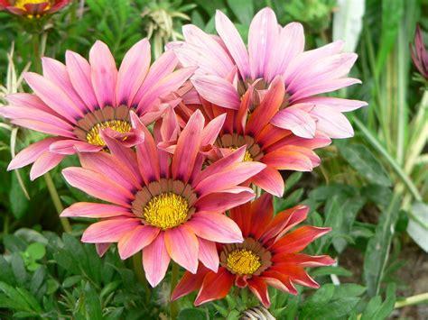 fiori da bordura pieno sole gazania wikip 233 dia