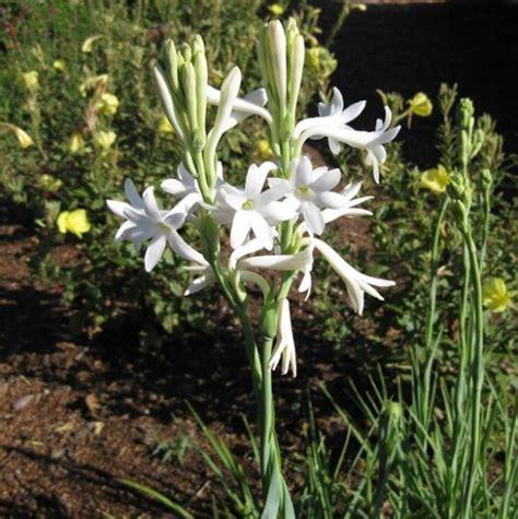 Benih Bunga Sedap Malam bunga sedap malam bibitbunga