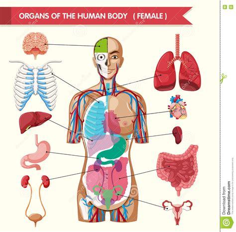 corpo umano maschile organi interni organi diagramma corpo umano illustrazione