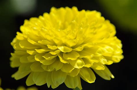 gambar bunga dahlia toko fd flashdisk flashdrive