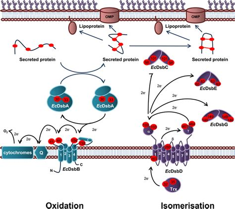 protein oxidation frontiers a comparison of the endotoxin biosynthesis and