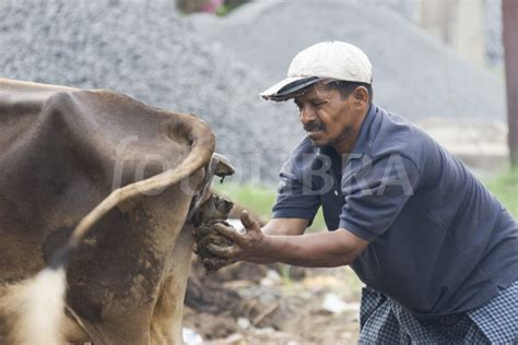 cow poop house india travellerspoint travel photography man catching cow dung in cuddalore india