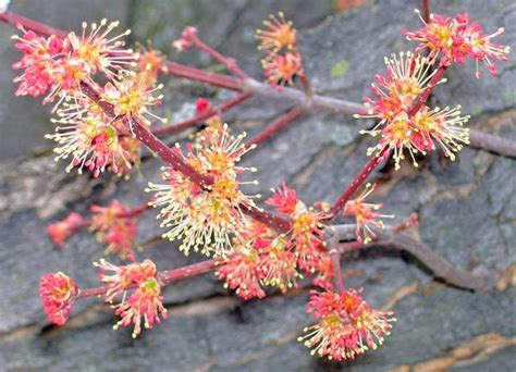 maple tree allergies tree flowers then and now neighborhood nature