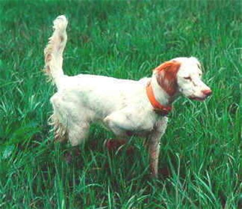 setter gun dog training gun dogs puppies kennels and training warriors mark