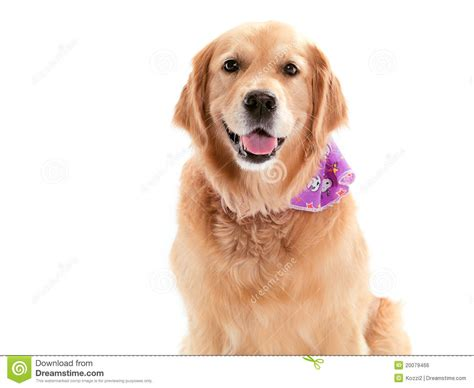purebred golden retriever price purebred golden retriever royalty free stock image image 20079466