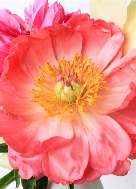 plant food that comes with flowers how to make peonies last longer the crafted life
