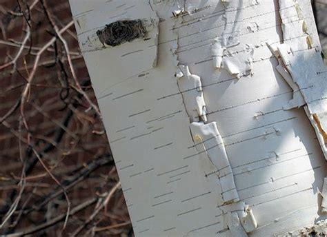 6 trees every survivalist should bio prepper