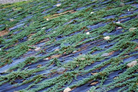 blue rug juniper ground cover creeping junipers can and beautify steep