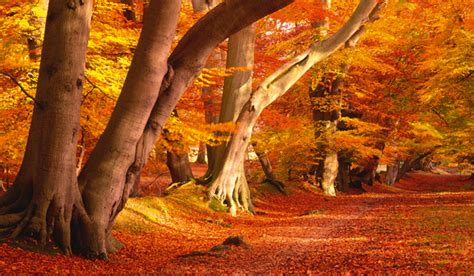 autumn beech trees country life