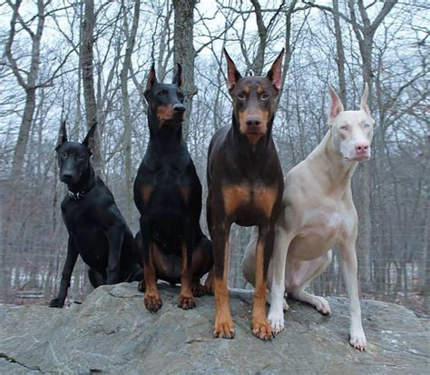 doberman colors the of animals captured on