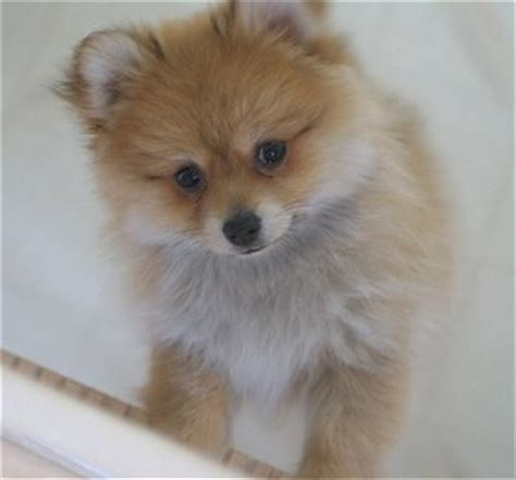 how much are white pomeranian puppies white pomeranian puppy jpg