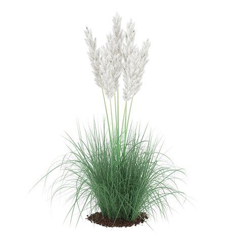 decorative grass plants ornamental grass