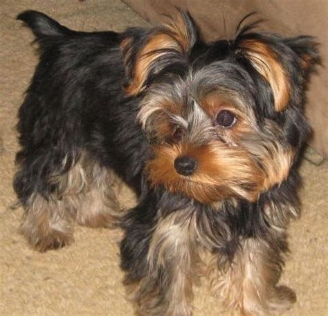 big yorkie breed 288 best images about yorkie big attitude on dogs