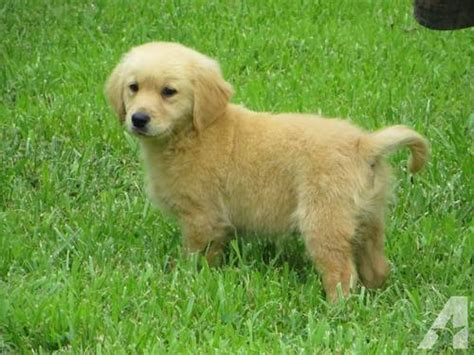 golden retriever nc golden retriever puppies for sale in badin lake carolina