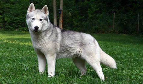 8 Care Tips For A Husky by 7 Special Tips For Taking Care Of A Siberian Husky