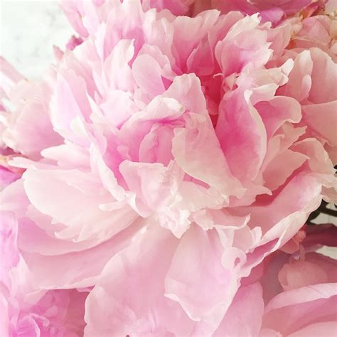 pink peonies instagram happy weekend